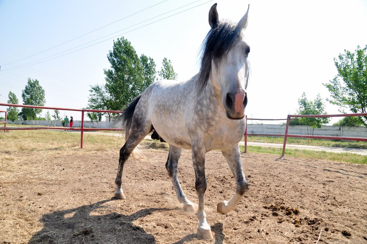 pure-breed-horse